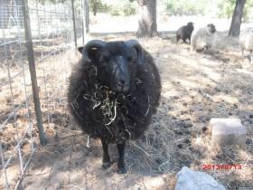 A Shetland ram